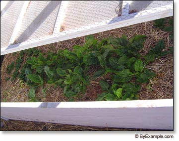 in our single cold frame beds we are currently growing spinach swiss chard siberian kale kyona mustard beets carrots and chinese cabbage
